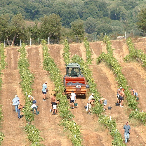 Domaine Comte Abbatucci  Vineyard by Jean-Charles Abbatucci - Vineyard Country: France - Vineyard Region: Corsica