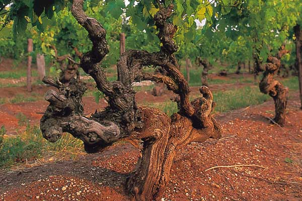 Yalumba Vineyard by  - Vineyard Country: Australia - Vineyard Region: South Australia