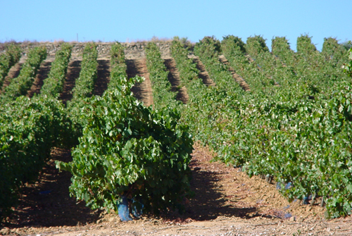 SENHOR DO ALTO Wine by Caves Bonifacio - Wine Country: Portugal - Wine Region: Estremadura - Wine Type: Castel�o - Tinta Miuda - Alicante Bouschet - Wine Category: Red Wines